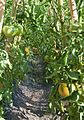 Tomaca (Lycopersicum esculentum 'Gros de Morella'), jardí botànic de València.JPG