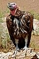 Torgos tracheliotus -Rio Grande Zoo, New Mexico, USA-8a.jpg