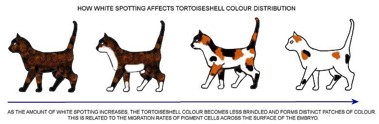 Harga Kucing Ras Abyssinian 17 Jenis Kucing Paling Langka