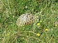 Tortoises in Krushevska Reka valley - P1100165.JPG