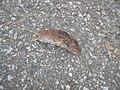 Tote Feldmaus (Microtus arvalis) auf der Straße.JPG