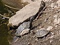 Trachemys scripta - Червоновухі черепахи.jpg
