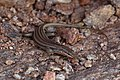 Trachylepis occidentalis (Western three-striped skink) -1602 - Flickr - Ragnhild & Neil Crawford.jpg