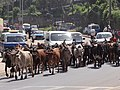 Traffic Jam with Cattle - Addis Ababa - Ethiopia (8743135833).jpg