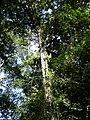 Tree, Brownsberg.JPG