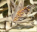 Tree Farm, Corn 12-8-12 (8297237717).jpg