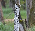 Tree Swallow (34499942260).jpg