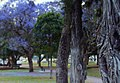 Trees'n trunks....Memorial park, Gympie - panoramio.jpg