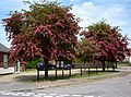 Trees in bloom at Rushmere Street - geograph.org.uk - 1305700.jpg