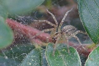 <i>Allagelena</i> Genus of spiders