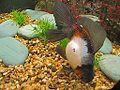 Tricolor goldfish.jpg