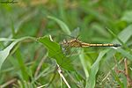 Tricolored Marsh Hawk Female - Orthetrum luzonicum.jpg