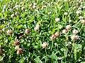 Trifolium fragiferum (subsp. fragiferum) sl37.jpg