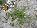 Tripleurospermum maritimum habitus.jpeg