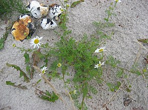 Küsten-Kamille (Tripleurospermum maritimum)