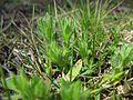 Triptilodiscus pygmaeus plant11 NT - Flickr - Macleay Grass Man.jpg
