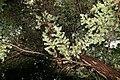 Tsuga caroliniana 4zz.jpg
