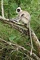 Tufted gray langur-Semnopithecus priam.jpg