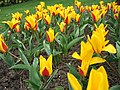 Tulipa kaufmanniana - tulipe Goudstuck - parc floral Paris.JPG