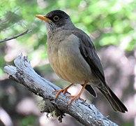 An Austral thrush on a branch