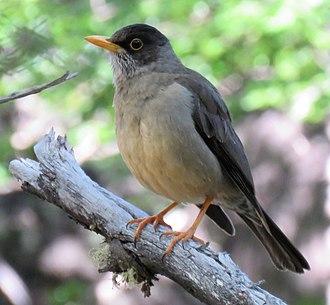 Austral thrush - Image: Turdus falcklandii