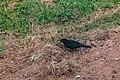 Turdus merula male in Aveyron (7).jpg