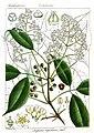 Turpinia nepalensis Rungiah.jpg