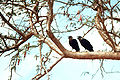 Two corvus albicollis.jpg