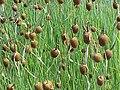Typha minima2.jpg