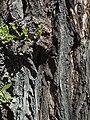 U. pumila-bark-3.jpg