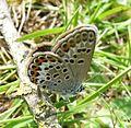 U.s .Silver-studded Blue. Plebejus argus. Female. - Flickr - gailhampshire.jpg