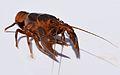 UMFS crayfish 2015 2.JPG