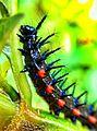 Ulat Duri (Caterpillar).jpg