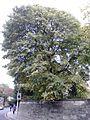Ulmus minor (light green leaves). North west corner of Holyrood Palace Gardens, Edinburgh (2).jpg