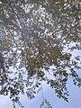 Ulmus parvifolia by Prahlad balaji 1.jpg
