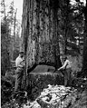 Undercutting a 450-year-old Douglas fir, Wynoochee Timber Co, Montesano area, Feb 4, 1923 (CURTIS 591).jpeg