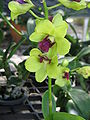 Unid orchid06a.JPG