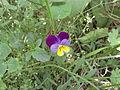 Unknown little flower.JPG