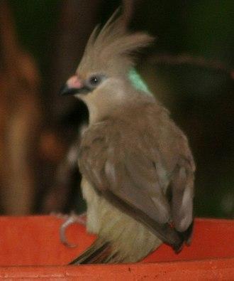 Blue-naped mousebird - Image: Urocolius macrourus 1