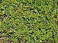 Vaccinium angustifolium Foliage.JPG