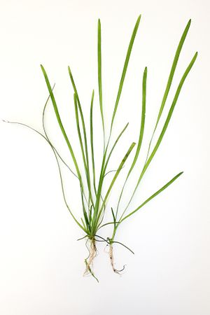Vallisneria spiralis - Image: Vallisneria spiralis