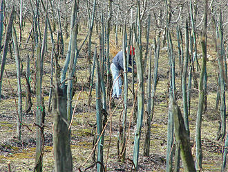 Vine training - The practice of training vines to individual stakes, as shown here in a vineyard in Valtellina DOC, has been practiced in Italy since at least the time of the ancient Greeks and Romans.