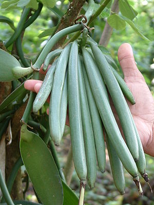 Vanilla beans grown in the plantations of Kera...