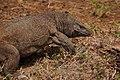 Varanus bengalensis09561.jpg