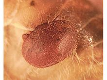 Varroa jacobsoni attached to a bee.jpg