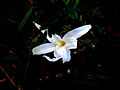 Velloziaceae.jpg