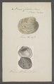Venus corbis - - Print - Iconographia Zoologica - Special Collections University of Amsterdam - UBAINV0274 077 12 0006.tif