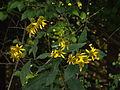Verbesina alternifolia, 2015-09-04, Mount Lebanon, 02.jpg
