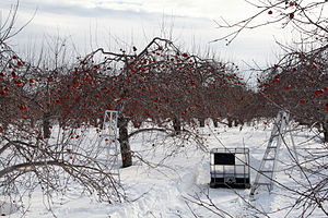 Ice cider - Apples left on the branch through winter