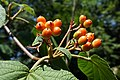 Viburnum furcatum (Forked Viburnum).jpg